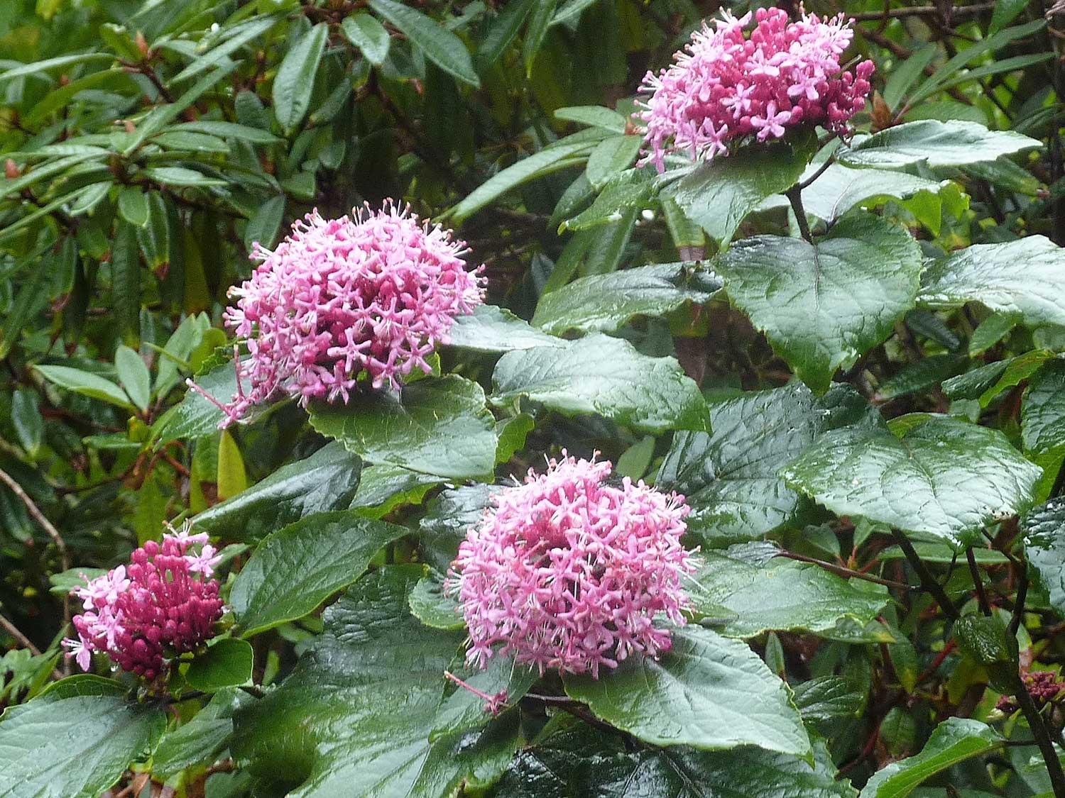 Clerodendron-bungei–Aug-2012