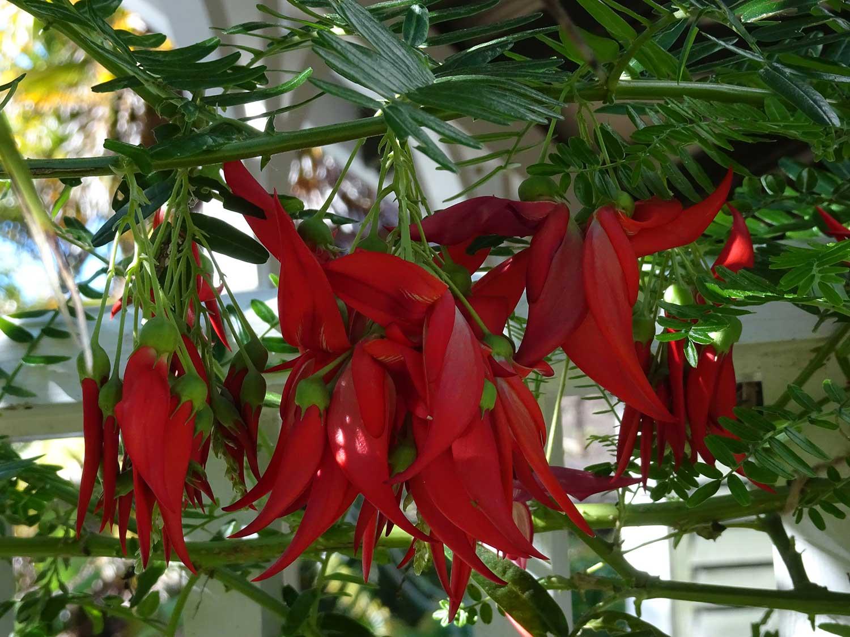 Clianthus-puniceus
