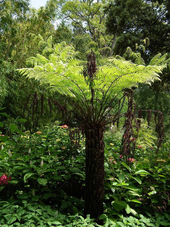 Cyathea-australis