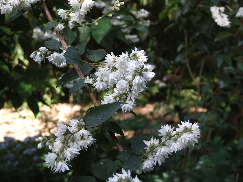 Deutzia-scabra-'Candidissima'