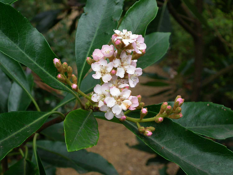 Eriobotrya-deflexa-'Copper-tone'