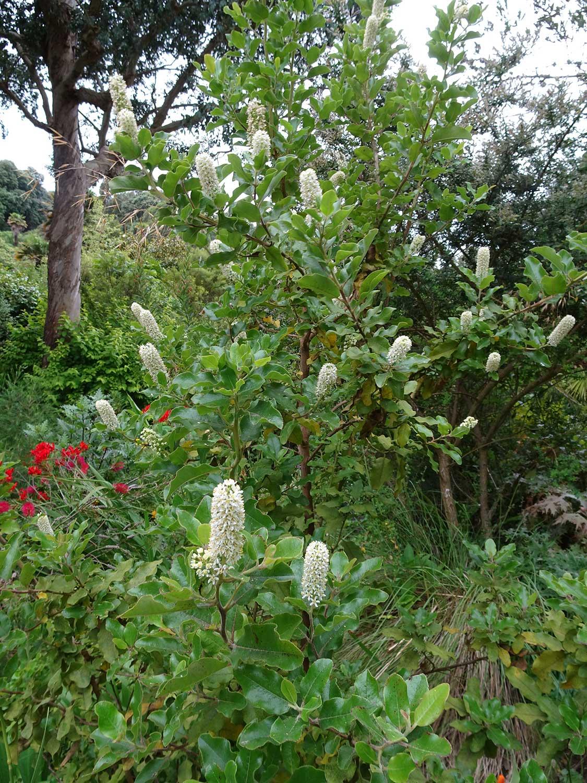 Escallonia-pulverulenta-(2)