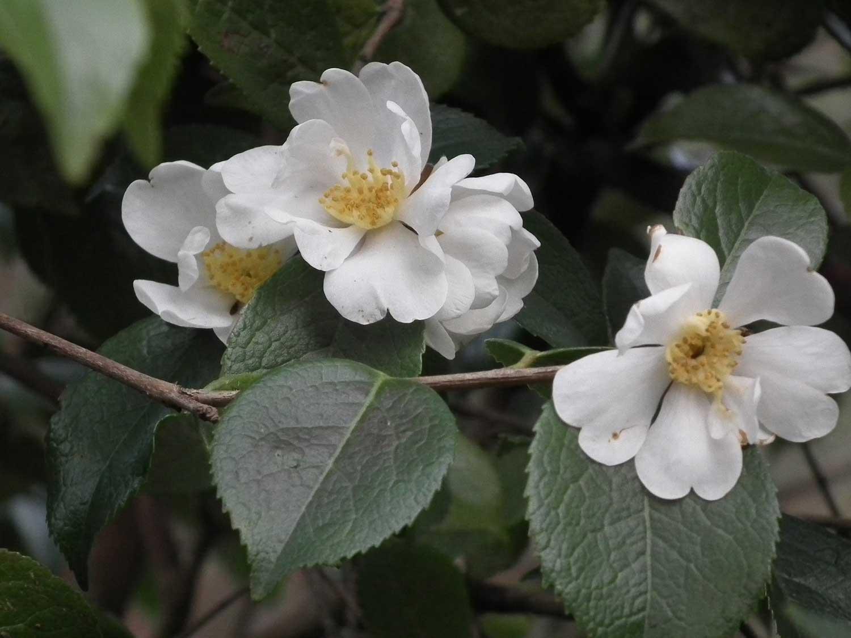 February-2013-Camellia-grijsii