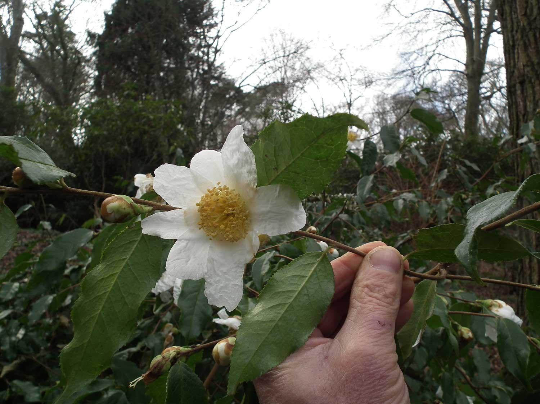 February-2013-Camellia-yunnanensis