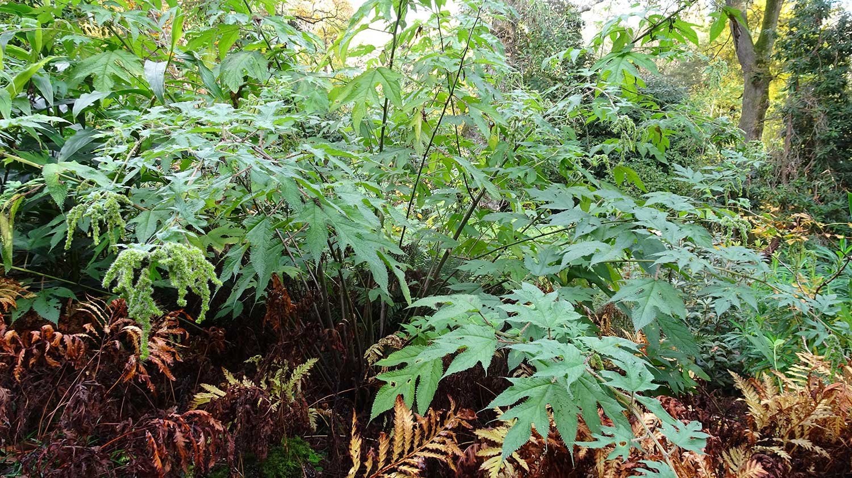 Girardinia-diversifolia