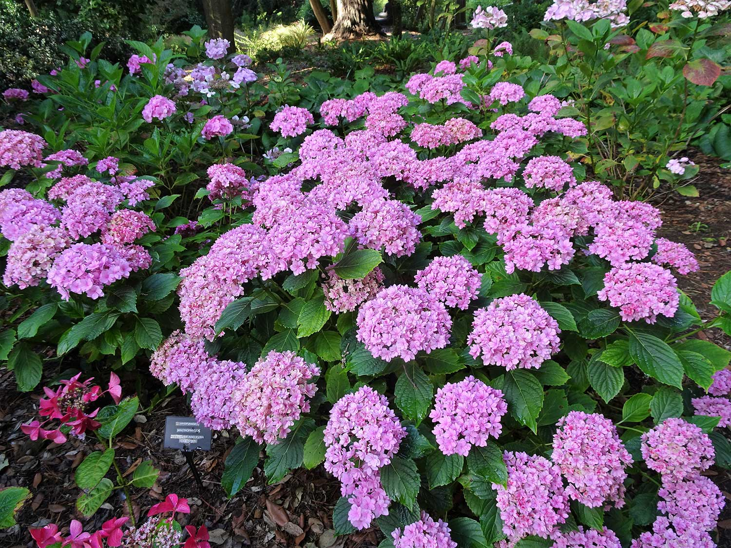 Hydrangea-For-ever-and-ever
