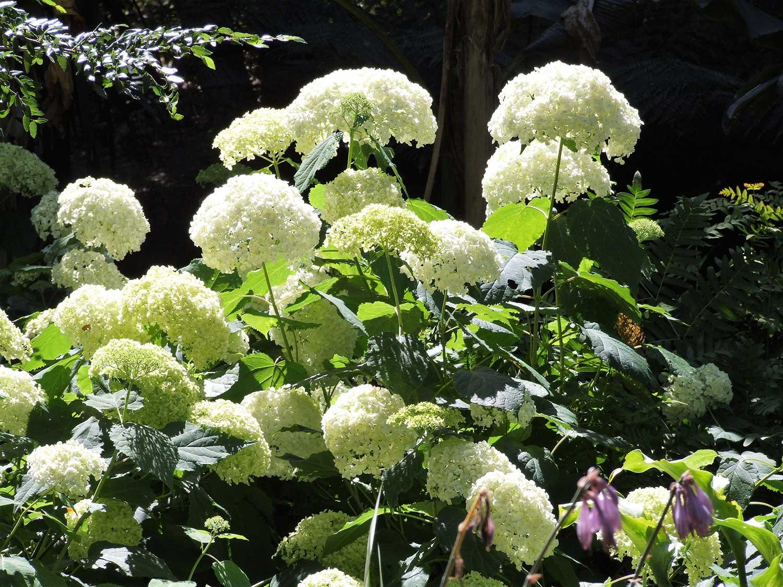 Hydrangea-arborescens-'Annabelle'