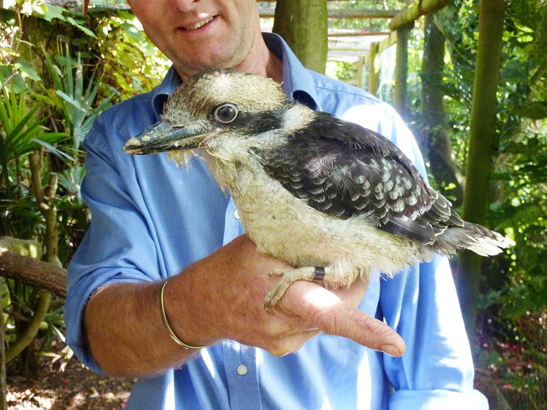 Kookaburra-chick-2013