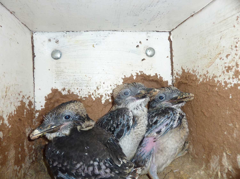 Kookaburra-chicks