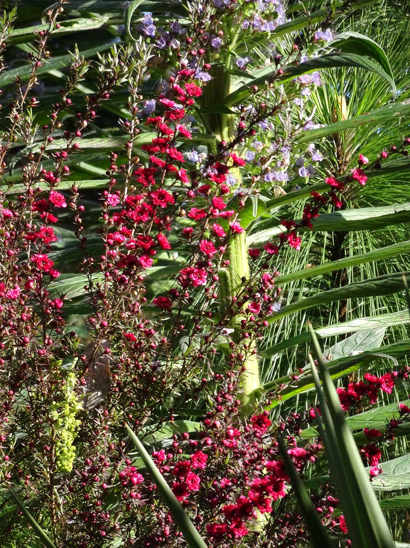 Leptospermum-scroparium