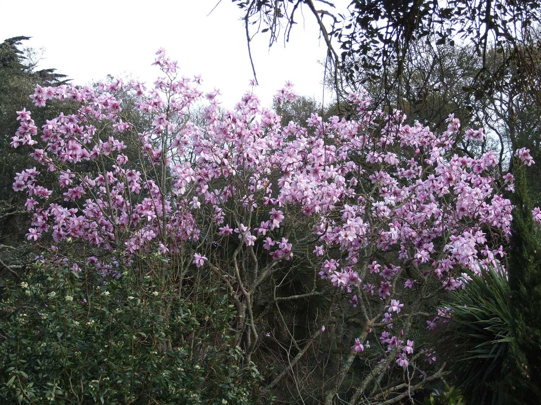 Magnolia-campbellii-'Mollicomata'