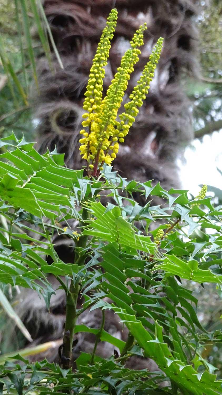 Mahonia-lomarifolia