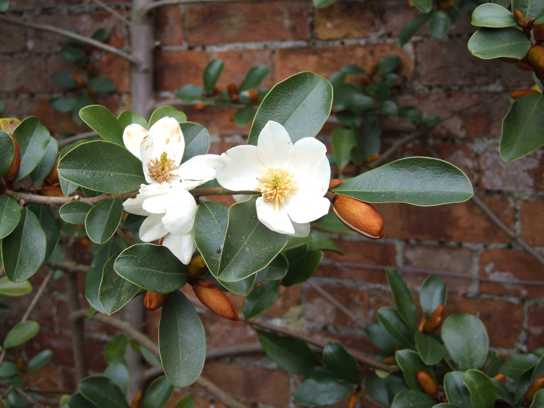 Michelia-yunnanensis