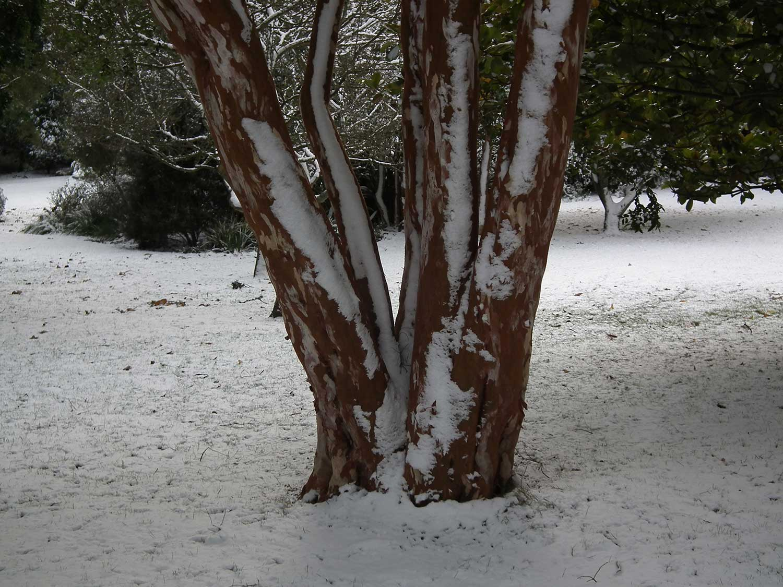 Myrtus-luma