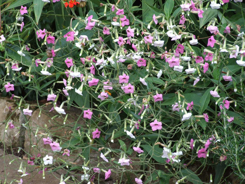 Nicotiana-mutabilis