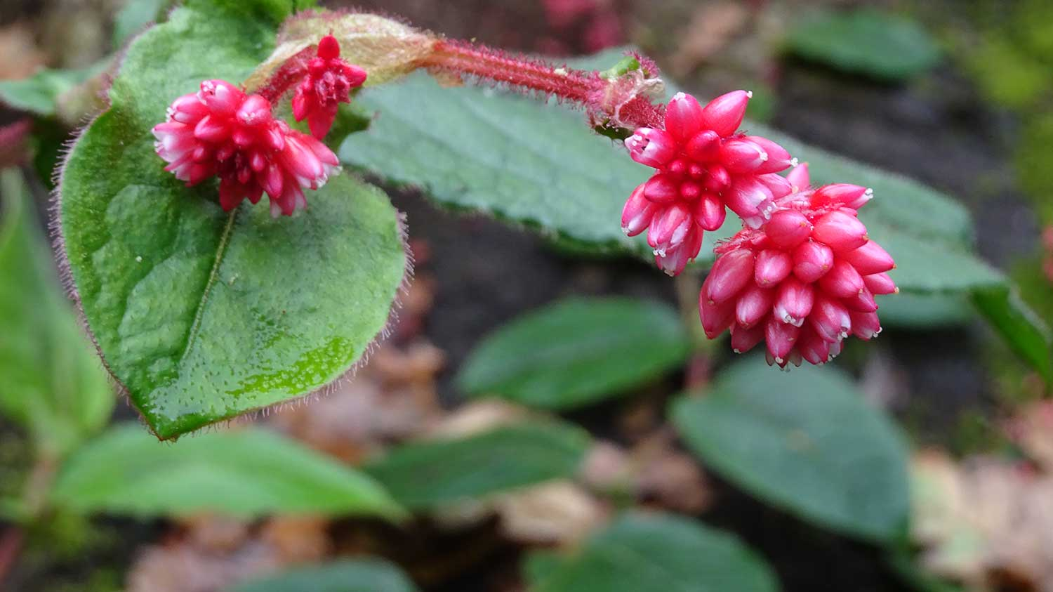 Polygonum-chinense-Collected-by-SJG-2014-Myanmar