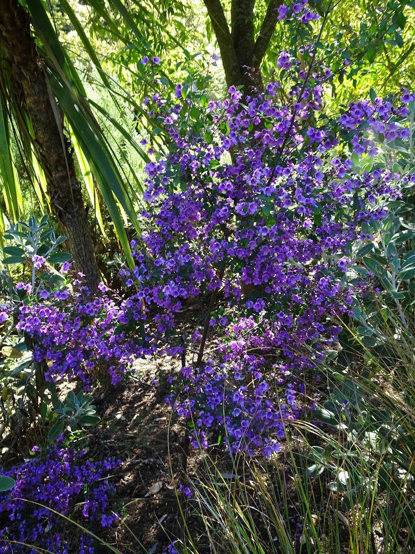 Prostranthera-ovalifolia