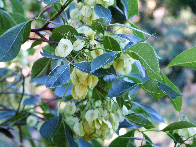 Ptelea-trifoliata