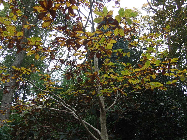 Quercus-mongolica-var.-grosseserrata