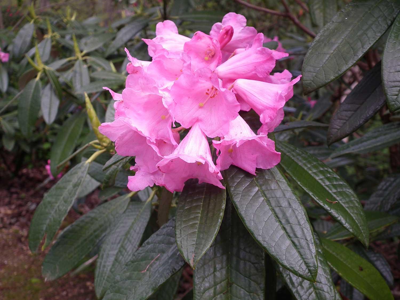 R.argyrophyllum-subspp-nankingense-'Chinese-Silver'