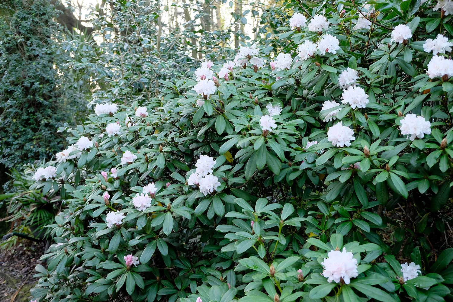Rhododendron-'Christmas-Cheer'-2