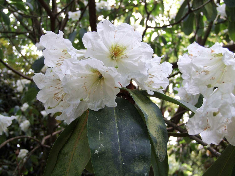 Rhododendron-Hemsleyanum