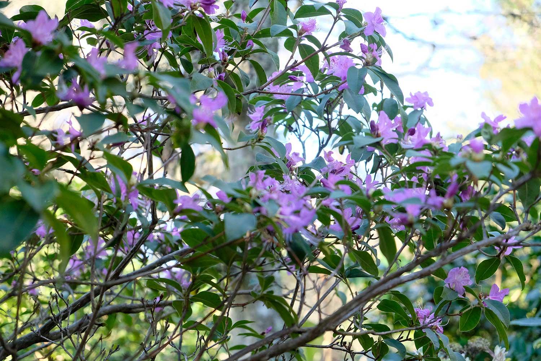 Rhododendron-dauricum-'Midwinter'
