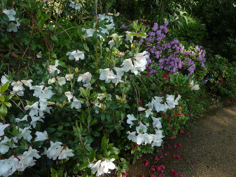 Rhododendron-fragrantissima