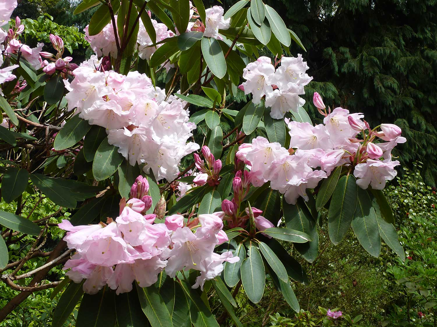 Rhododendron-loderi-'King-George'-(2)