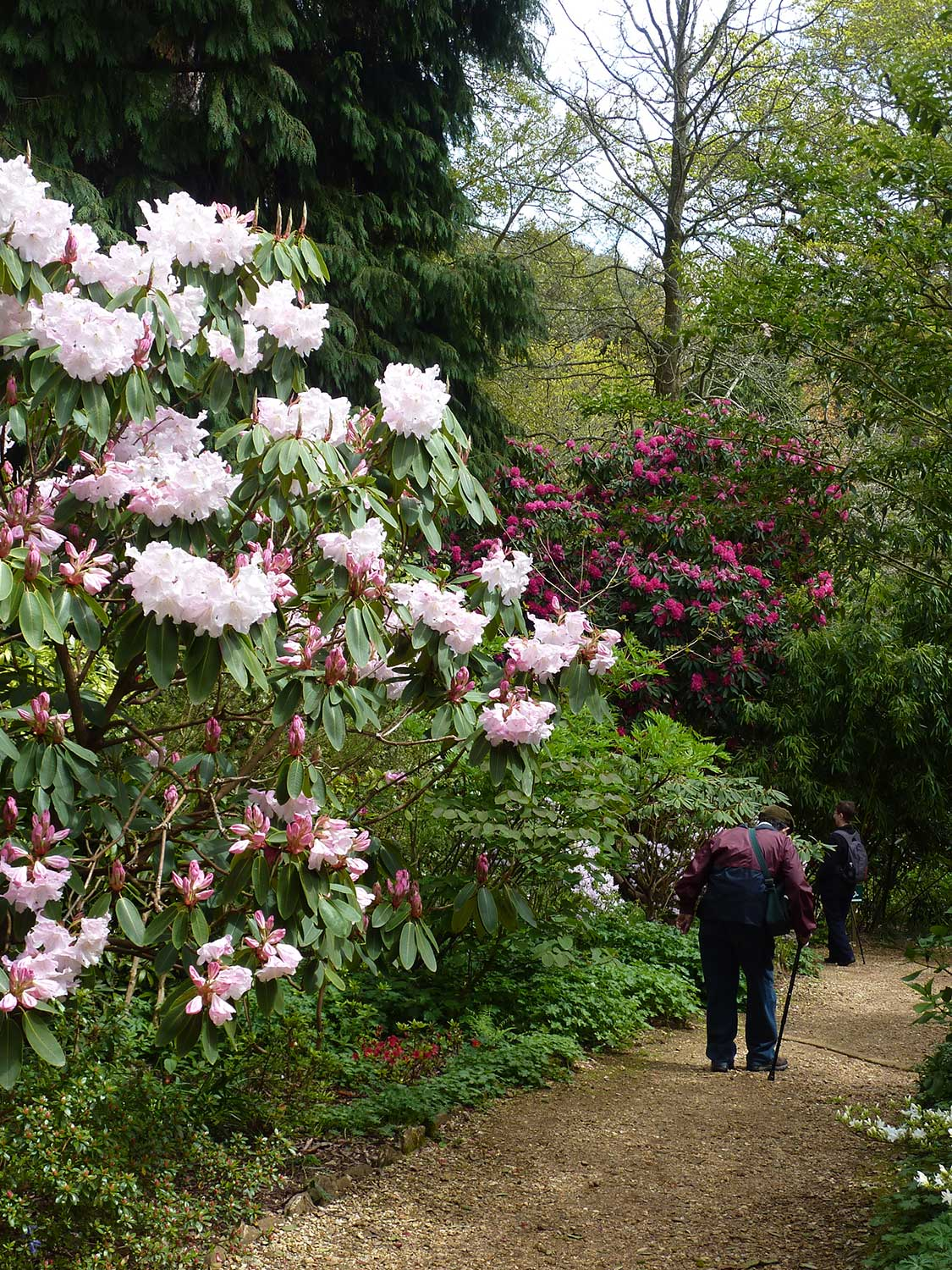 Rhododendron-loderi-'King-George'