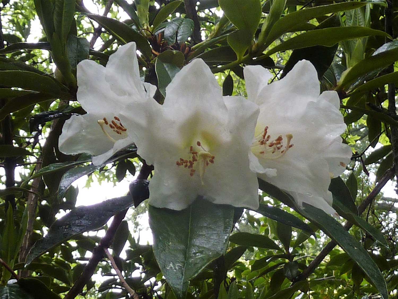 Rhododendron-maddeni