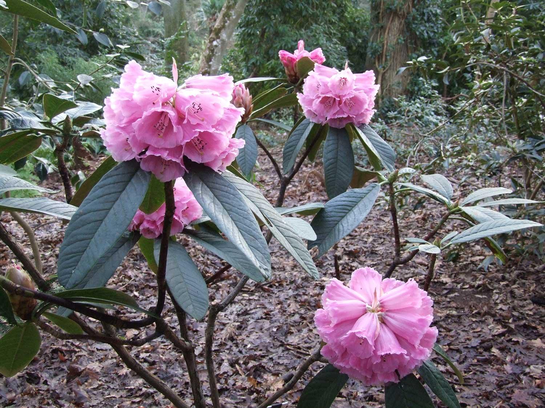 Rhododendron-protistum