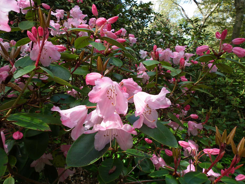 Rhododendron-souliei