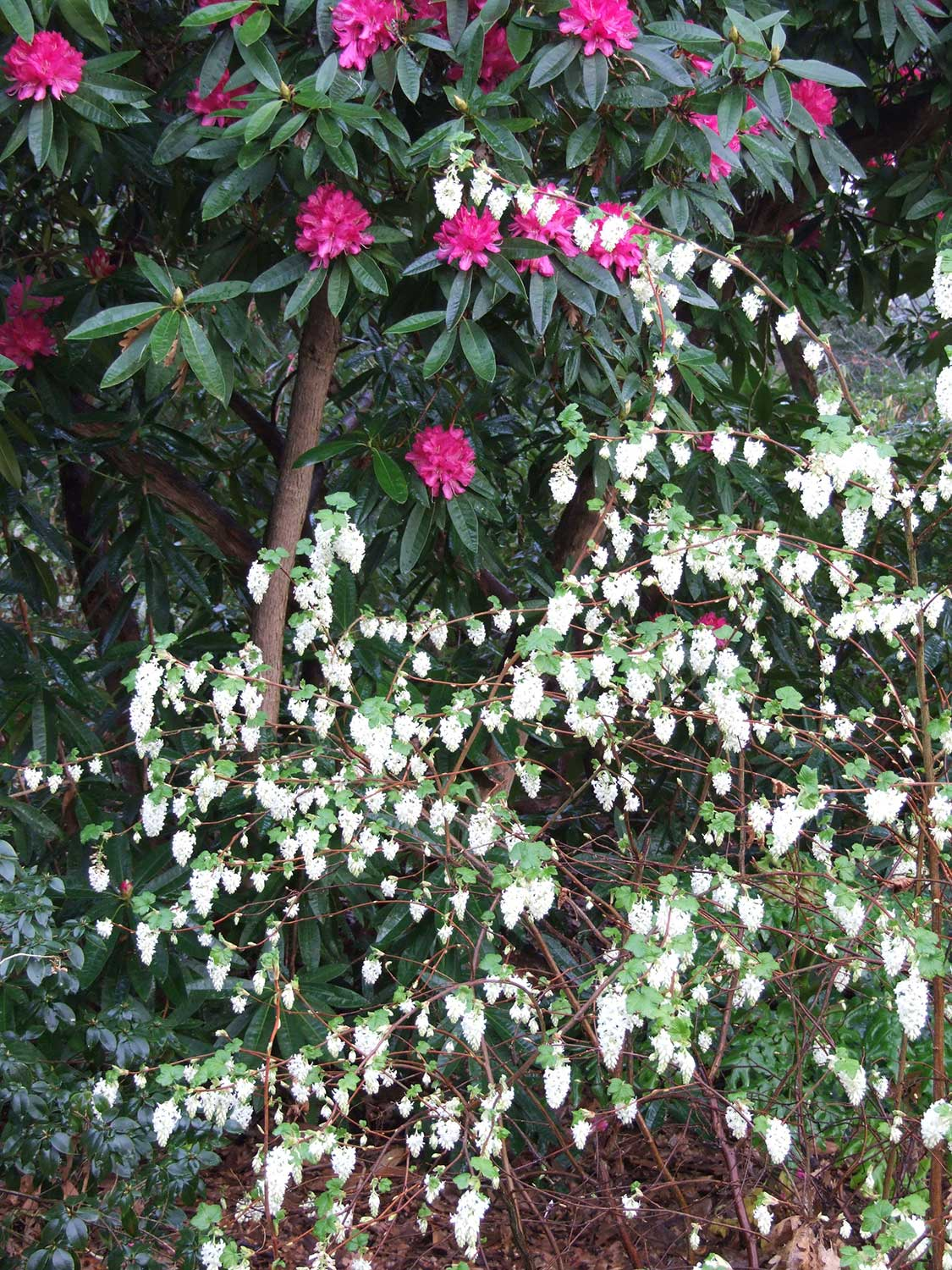 Ribes-and-rhodo