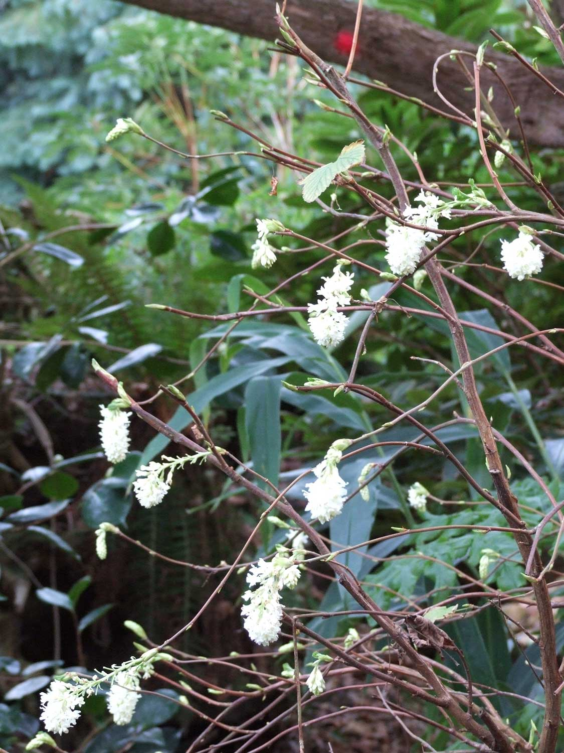 Ribes-white-iceicle