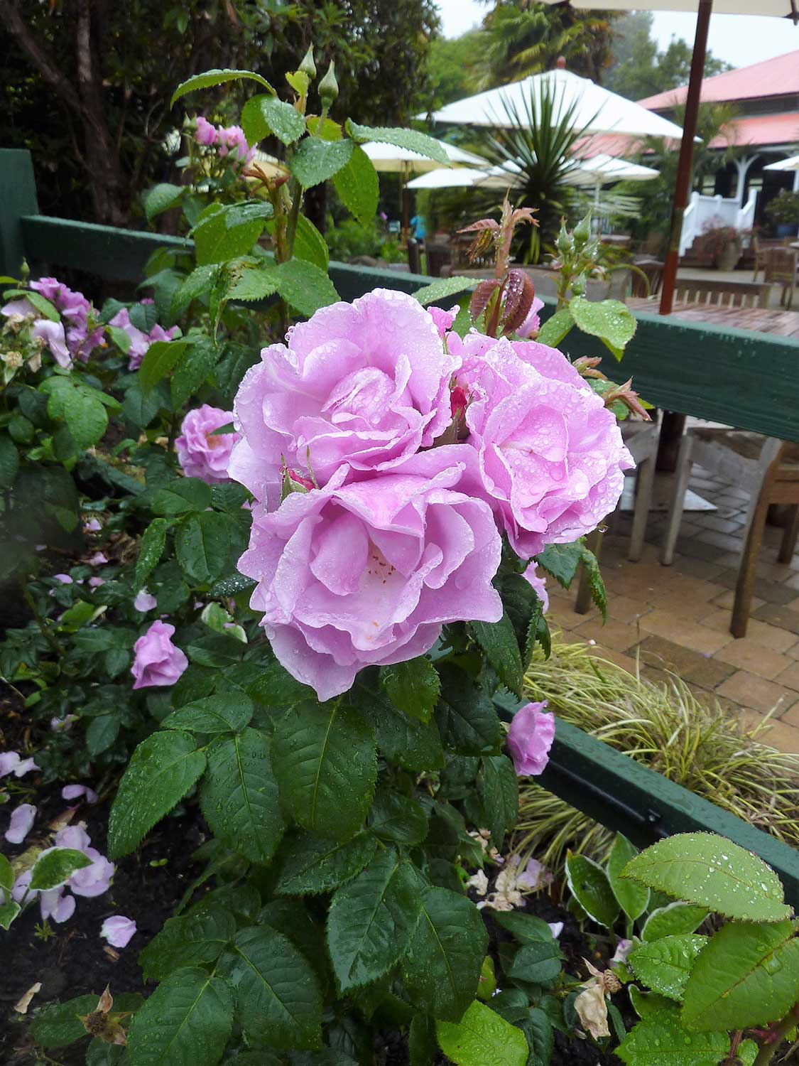 Rosa-Lucy