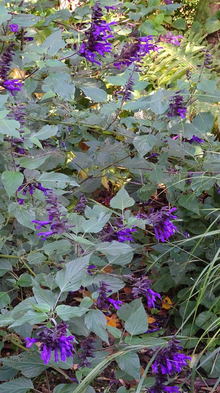 Salvia-Amistad