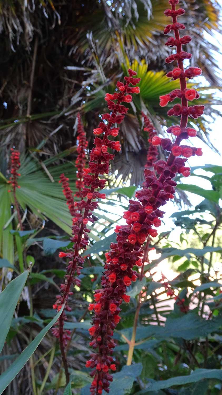 Salvia-conferiflora
