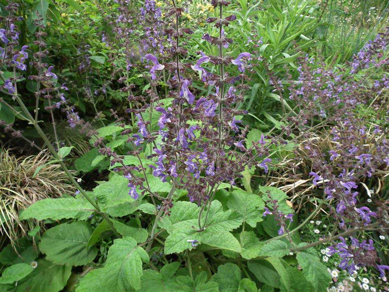 Salvia-forskaehlei-shrub