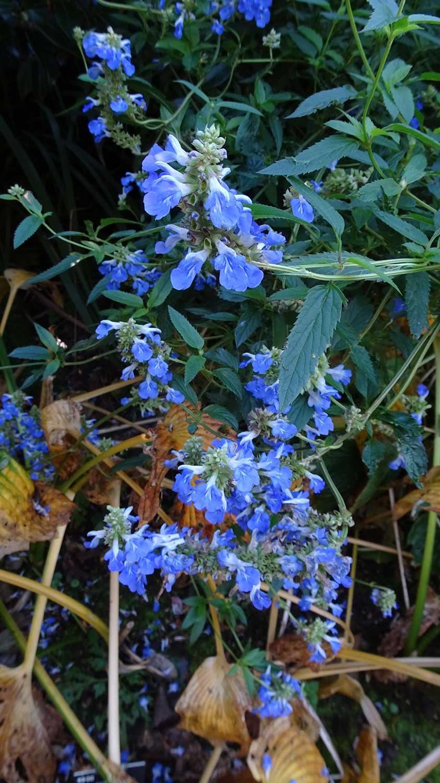 Salvia-uliginosa