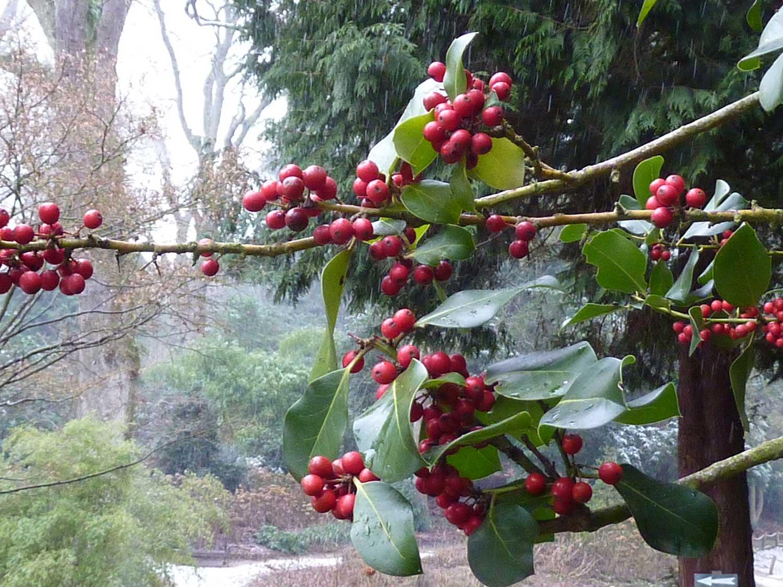 Skimmia-japonica-berries-(2)