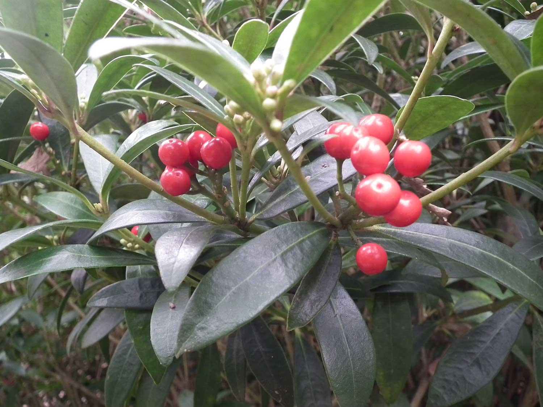 Skimmia-japonica-berries