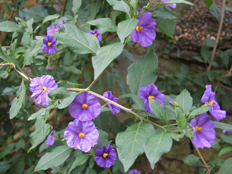 Solanum-rantonnetii