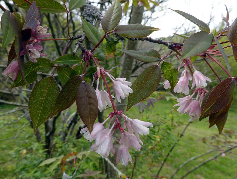Staphylea-holocarpa-var-rosea
