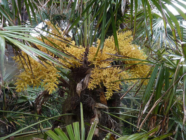 Trachycarpus-in-flower