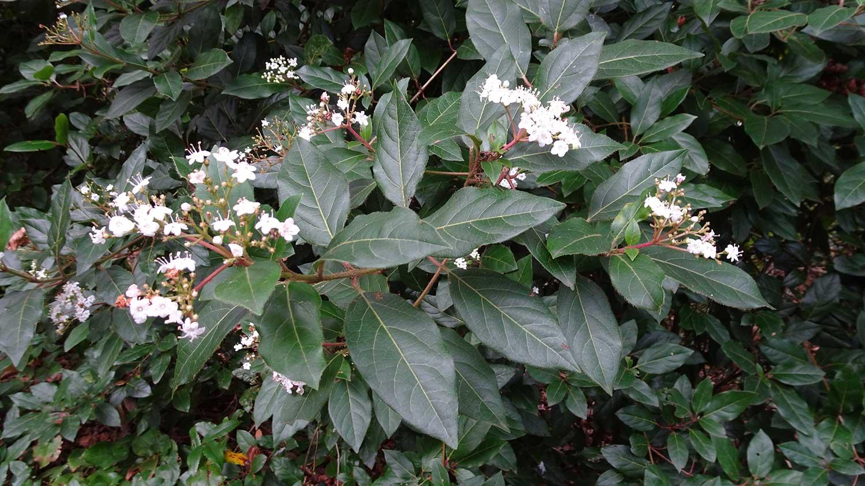 Viburnum-tinus