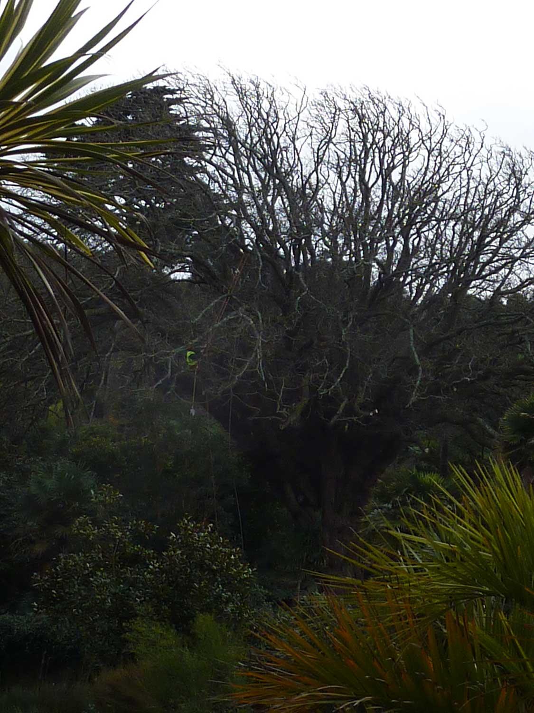 Wingnut-tree-section-felling-jan-feb-2010