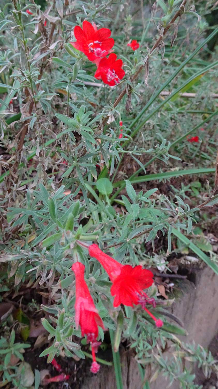 Zauchneria-californica-'Glasnevin'