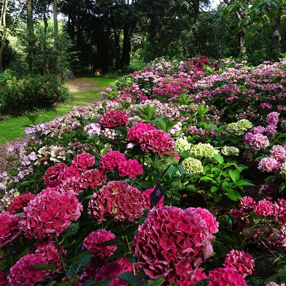 Hydrangea Day at Abbotsbury Subtropical Gardens - 8th August 2018