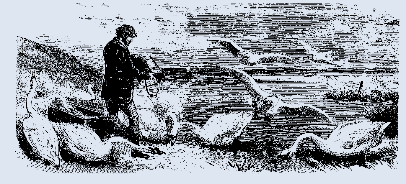 Swan herd engraving